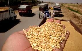 بابل: توقعات بتسويق 23 الف طن من الحنطة هذا الموسم