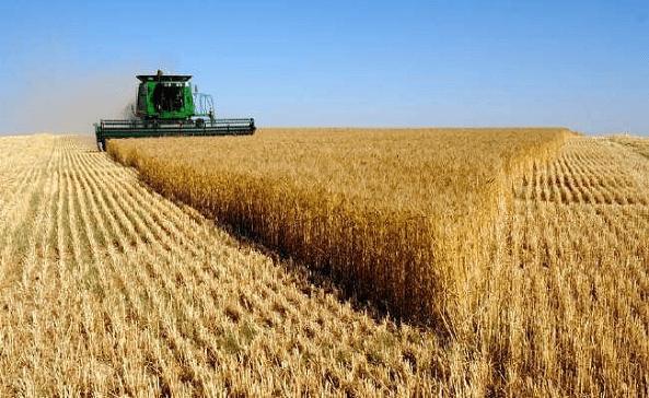 الزراعة تسمح بحركة نقل محصولي الحنطة والشعير بين المحافظات