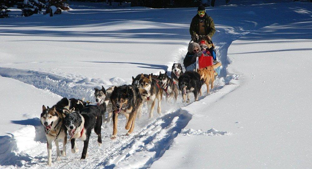الدنمارك تعتمد رسميا عربة الكلاب كوسيلة نقل