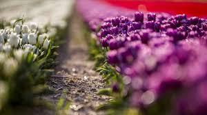 بمناسبة بدء موسم الربيع.. إطلاق حملة لغرس مليوني زهرة في عموم مناطق العاصمة