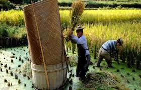 تطوير تطبيق إلكترونى للتعرف على آفات الأرز وطرق معالجتها فى الصين