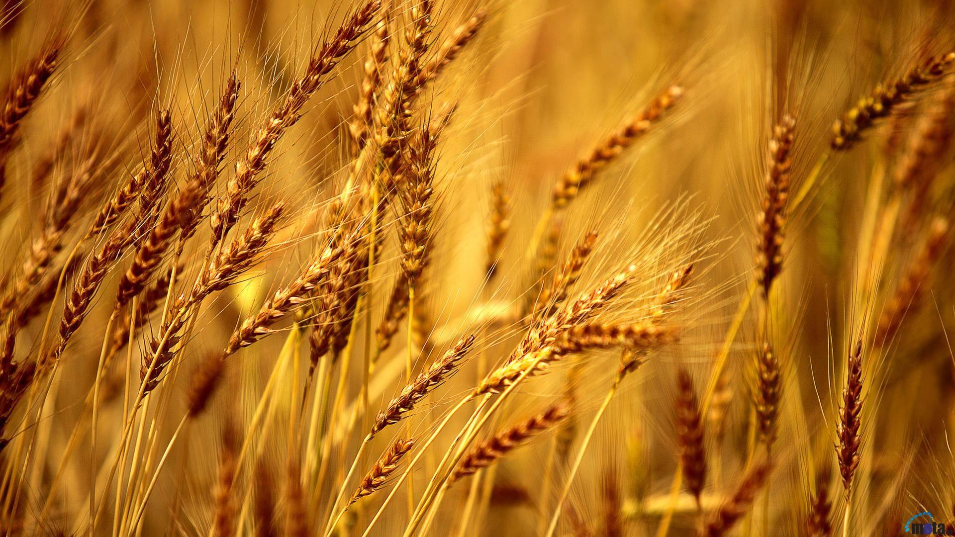 الزراعة: تسويق قرابة (700) الف طن من محصول الشعير في نينوى خلال الموسم الحالي