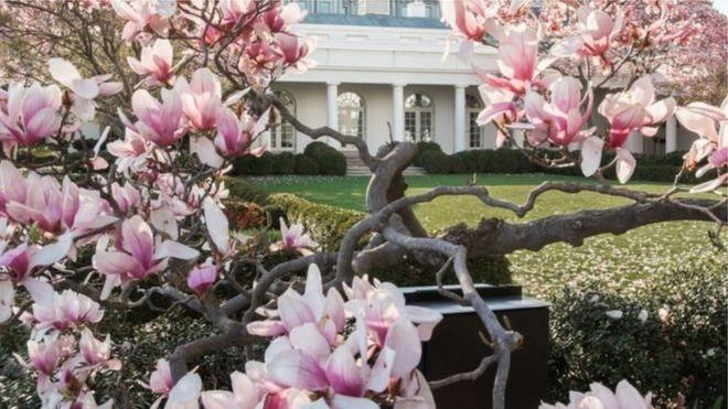 """بالصور .. البيت الأبيض يقرر قطع """"أقدم"""" أشجاره"""