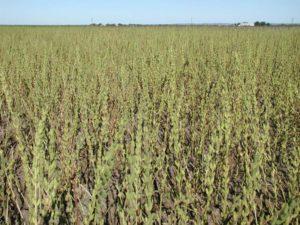 الزراعة: زيادة كبيرة بالمساحات المزروعة لمحصول السمسم في المحافظات كافة
