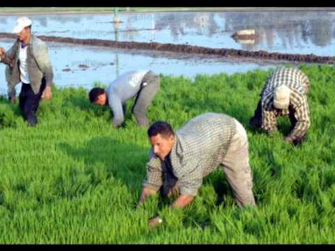 الزراعة تعلن زيادة محصول الأرز بنسبة 135 بالمئة مقارنة بالعام الماضي