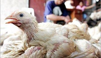 تفشى فيروس انفلونزا الطيور بمزرعة دواجن بميانمار
