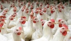 لسد حاجة السوق المحلية .. رفد كربلاء بكميات كبيرة من لحوم الدجاج والبيض