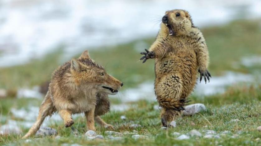 لقطة لثعلب ومرموط مرتعب تفوز بجائزة أفضل صورة للحياة البرية