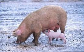 بعد تفش لحمى الخنازير ... إعدام أكثر من 8 آلاف خنزير فى الصين