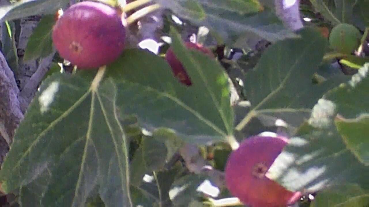 زراعة بابل تعلن زيادة إنتاجها من فاكهة التين للموسم الزراعي الحالي لأكثر من 6 الآف طن